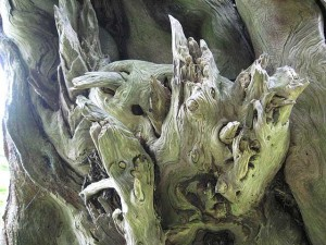 Marbury Tree 2 © David A. Cory